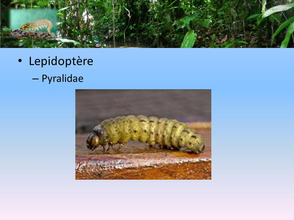 Lepidoptère Pyralidae