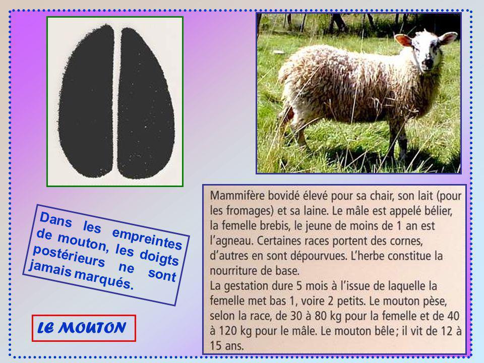 Dans les empreintes de mouton, les doigts postérieurs ne sont jamais marqués.
