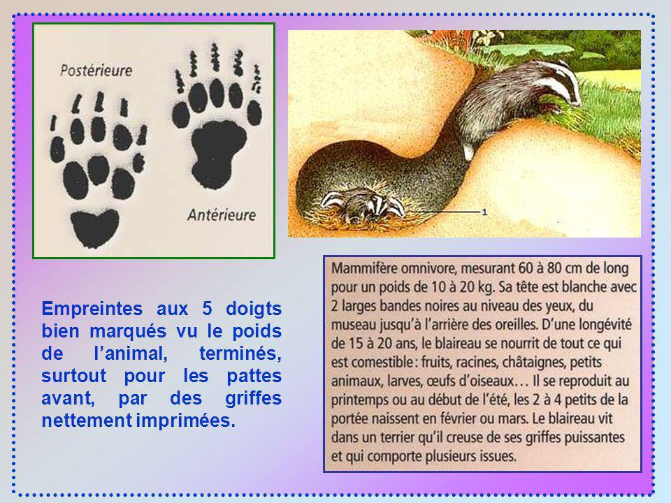 Empreintes aux 5 doigts bien marqués vu le poids de l'animal, terminés, surtout pour les pattes avant, par des griffes nettement imprimées.