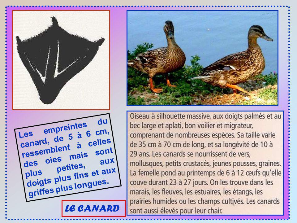 Les empreintes du canard, de 5 à 6 cm, ressemblent à celles des oies mais sont plus petites, aux doigts plus fins et aux griffes plus longues.