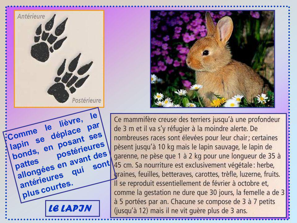 Comme le lièvre, le lapin se déplace par bonds, en posant ses pattes postérieures allongées en avant des antérieures qui sont plus courtes.