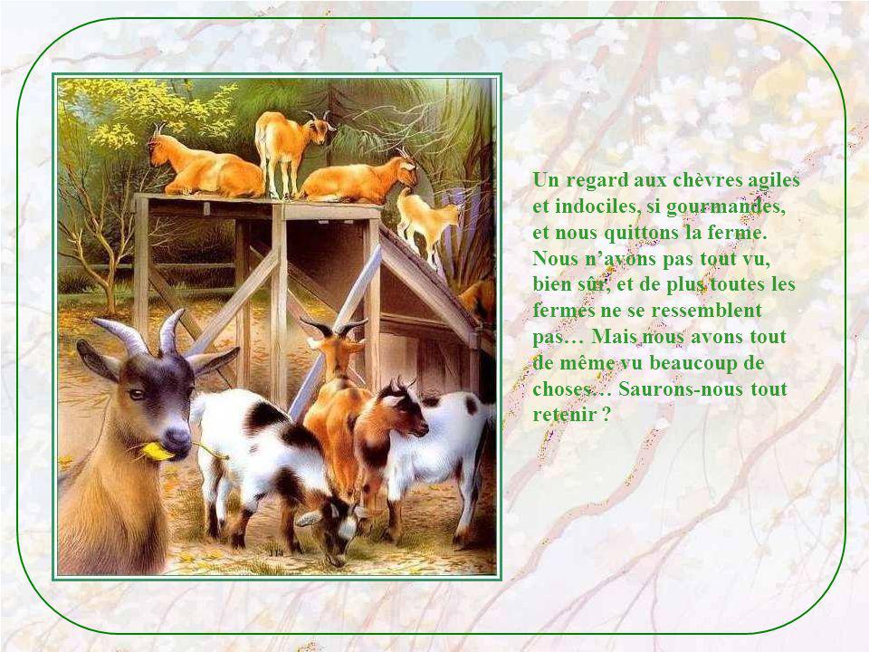 Un regard aux chèvres agiles