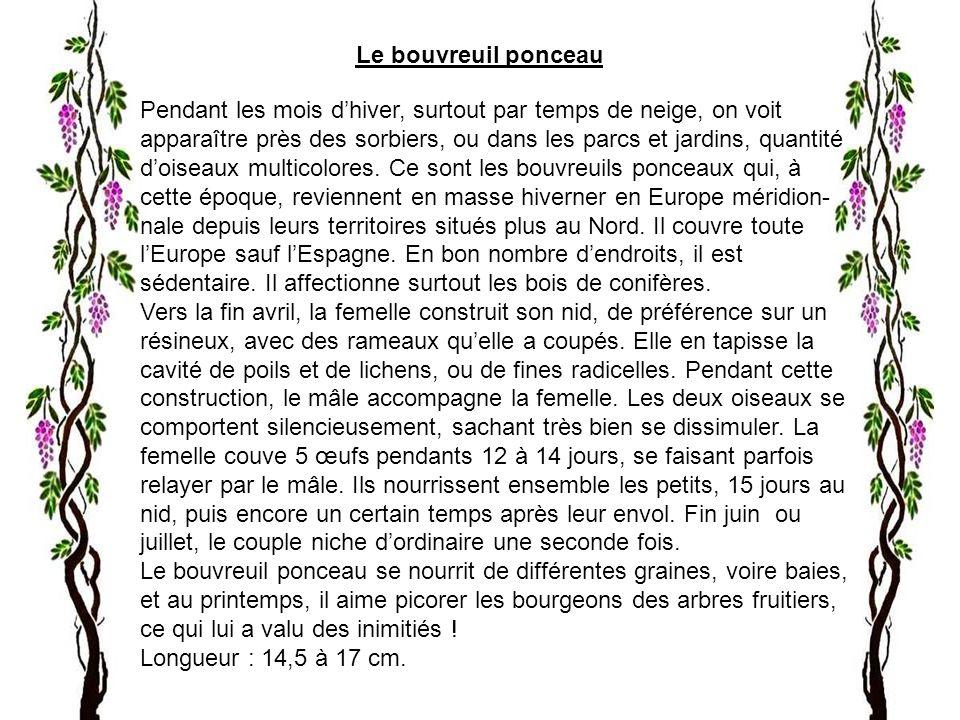 Le bouvreuil ponceau Pendant les mois d'hiver, surtout par temps de neige, on voit.