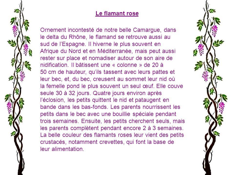 Le flamant rose Ornement incontesté de notre belle Camargue, dans. le delta du Rhône, le flamand se retrouve aussi au.
