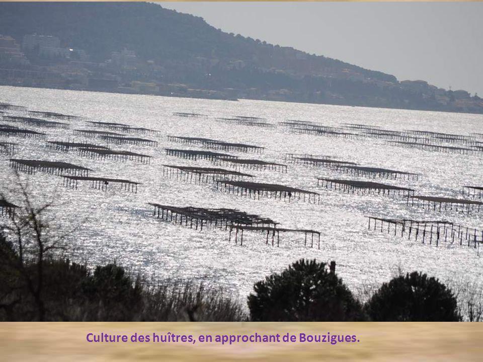 Culture des huîtres, en approchant de Bouzigues.