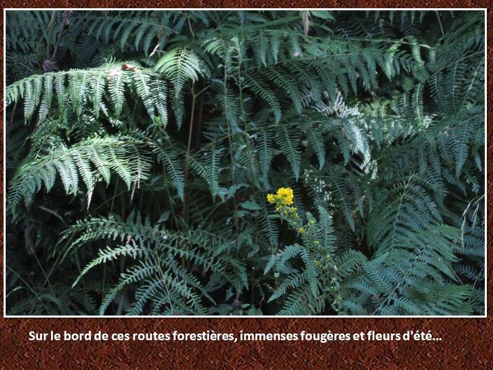 Sur le bord de ces routes forestières, immenses fougères et fleurs d été…