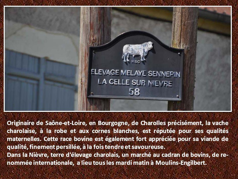 Originaire de Saône-et-Loire, en Bourgogne, de Charolles précisément, la vache charolaise, à la robe et aux cornes blanches, est réputée pour ses qualités maternelles. Cette race bovine est également fort appréciée pour sa viande de qualité, finement persillée, à la fois tendre et savoureuse.
