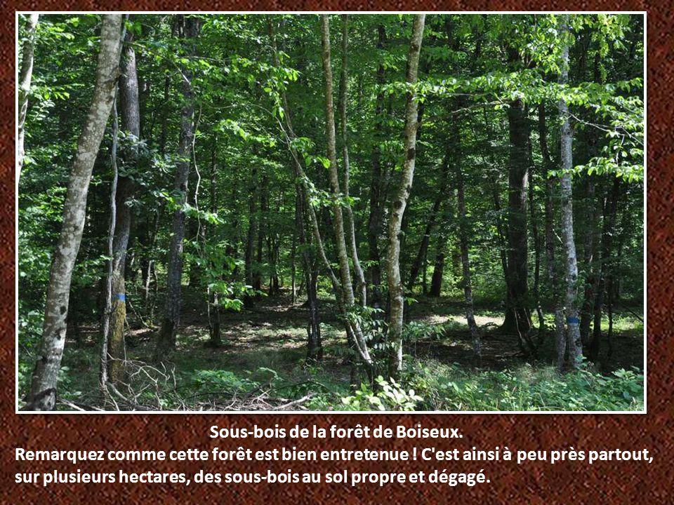 Sous-bois de la forêt de Boiseux.