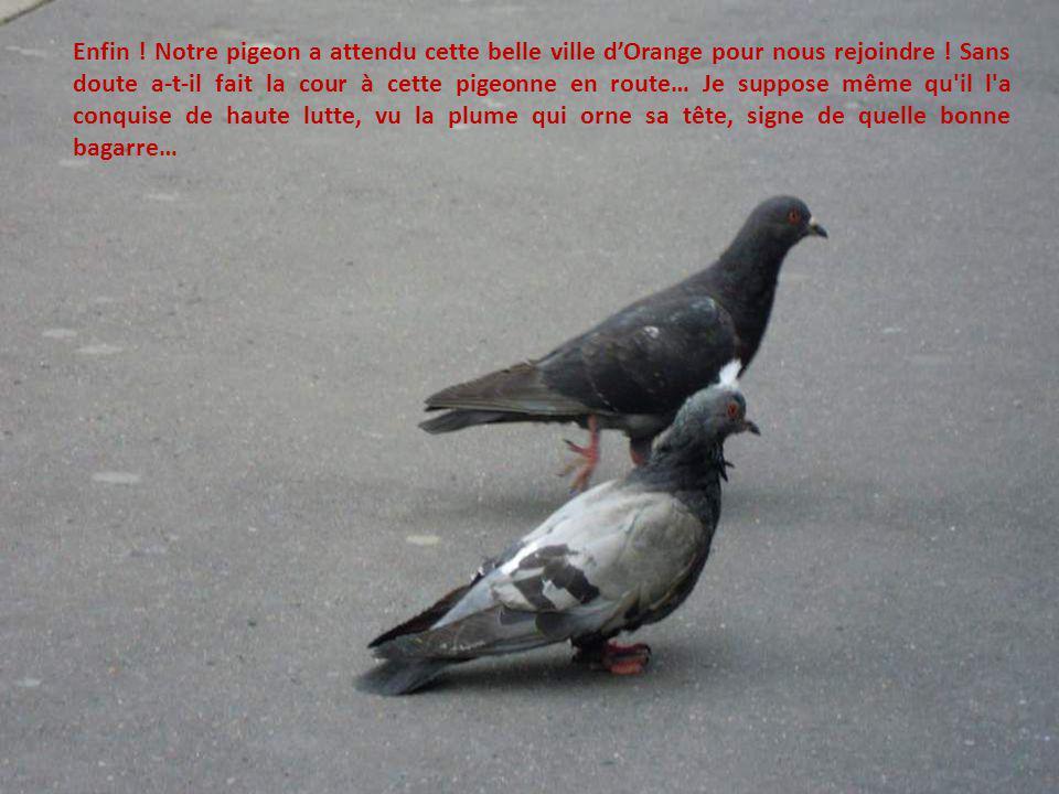 Enfin . Notre pigeon a attendu cette belle ville d'Orange pour nous rejoindre .