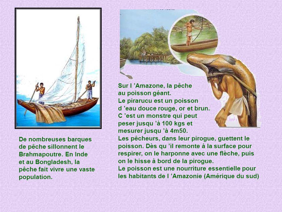 Sur l 'Amazone, la pêche au poisson géant. Le pirarucu est un poisson. d 'eau douce rouge, or et brun.
