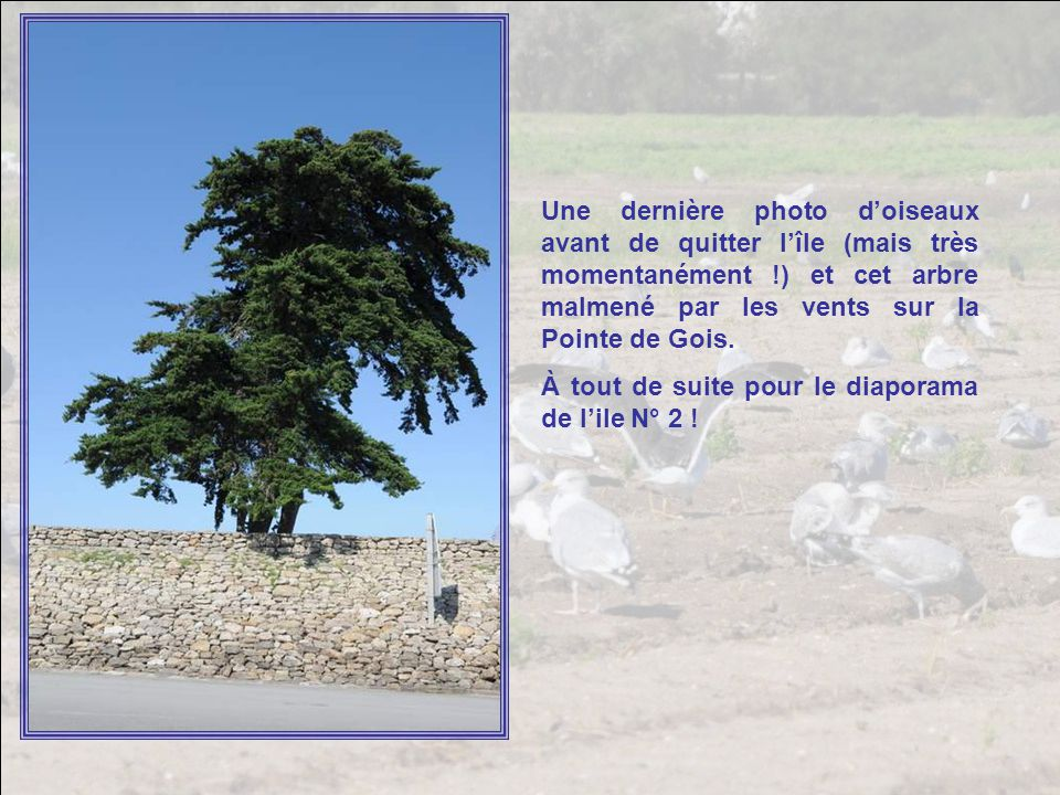 Une dernière photo d'oiseaux avant de quitter l'île (mais très momentanément !) et cet arbre malmené par les vents sur la Pointe de Gois.