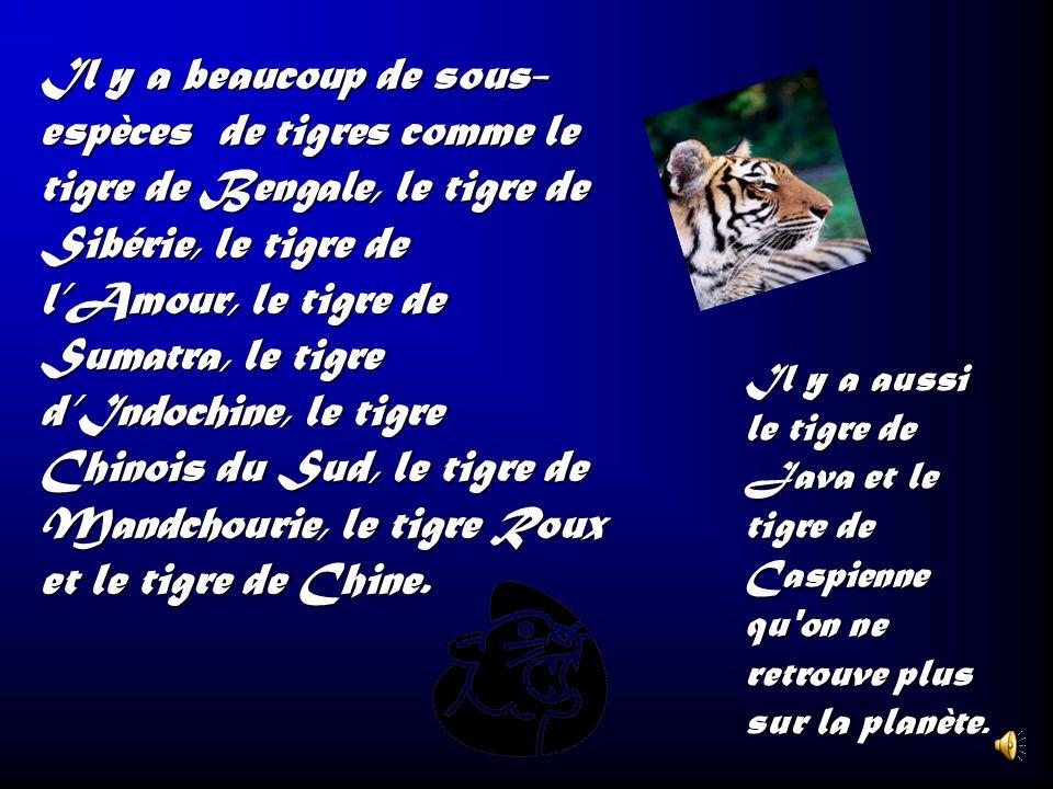 Il y a beaucoup de sous- espèces de tigres comme le tigre de Bengale, le tigre de Sibérie, le tigre de l'Amour, le tigre de Sumatra, le tigre d'Indochine, le tigre Chinois du Sud, le tigre de Mandchourie, le tigre Roux et le tigre de Chine.