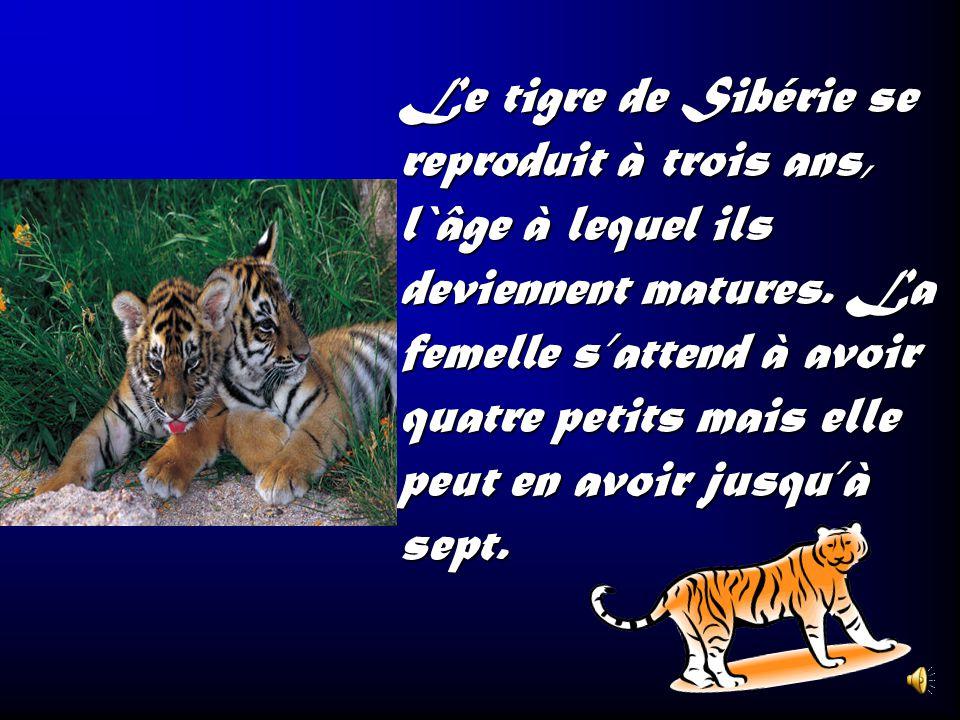 Le tigre de Sibérie se reproduit à trois ans, l`âge à lequel ils deviennent matures.