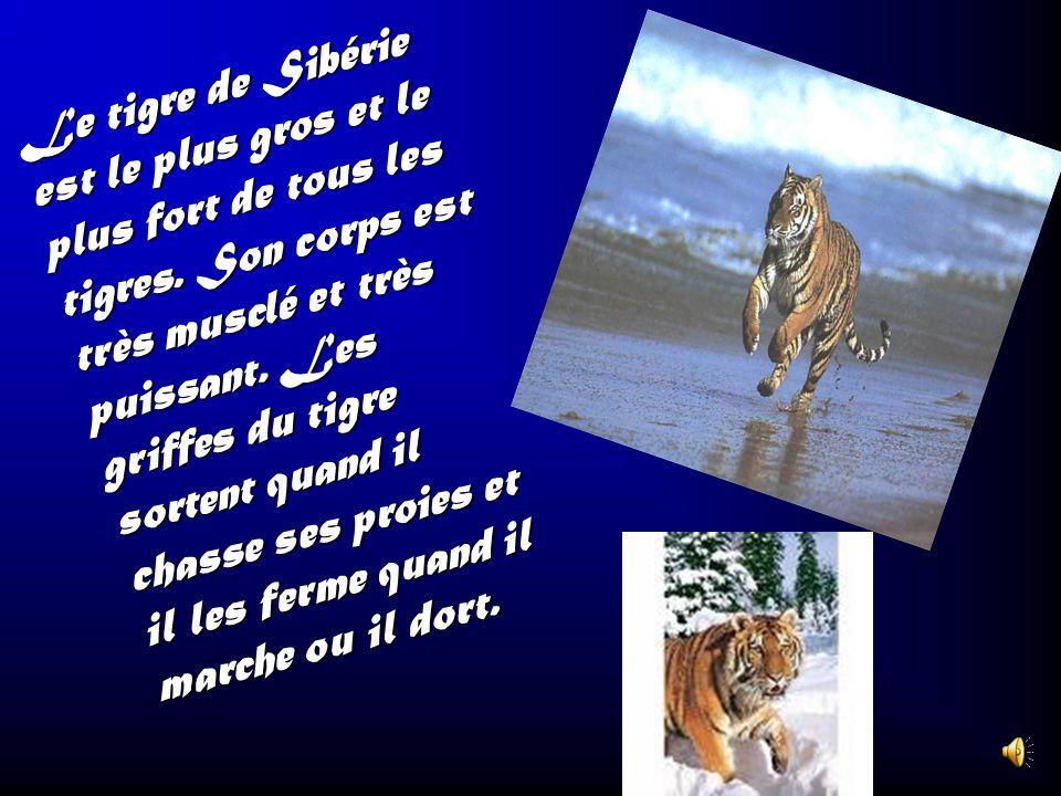 Le tigre de Sibérie est le plus gros et le plus fort de tous les tigres.