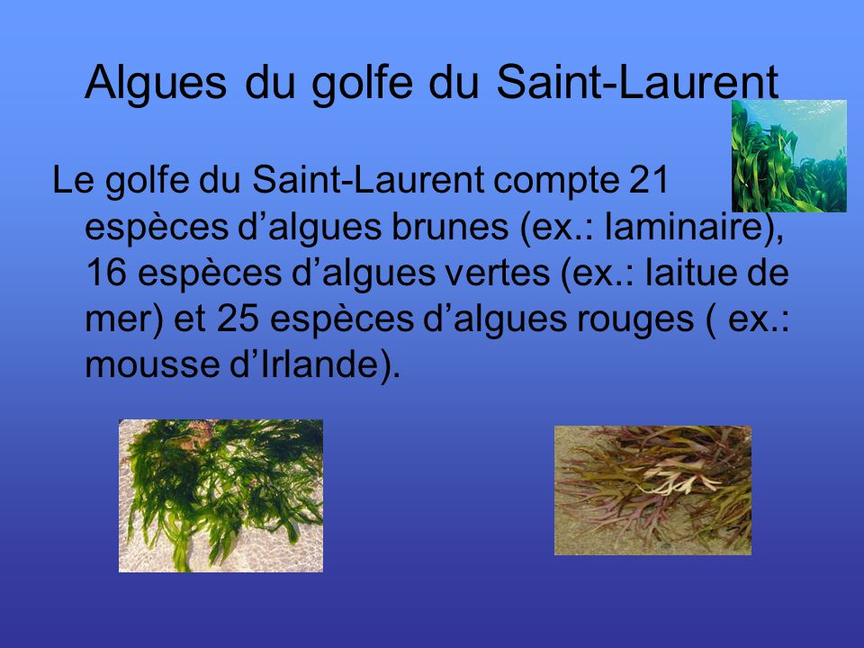 Algues du golfe du Saint-Laurent