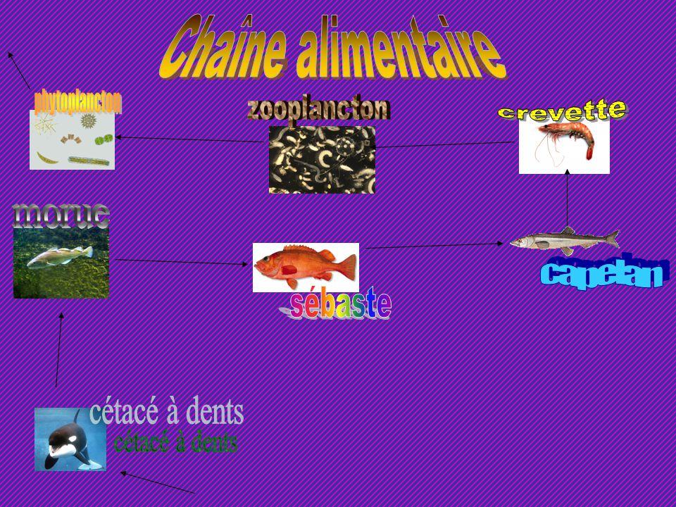 Chaîne alimentaire phytoplancton zooplancton crevette morue capelan