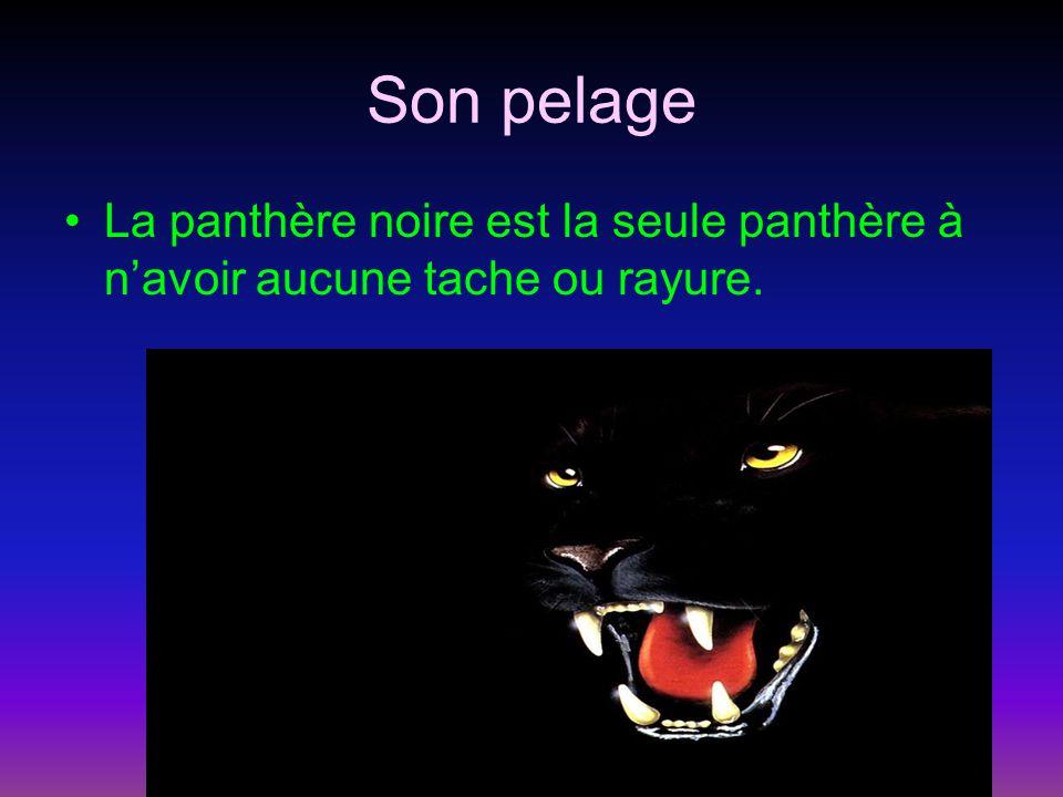 Son pelage La panthère noire est la seule panthère à n'avoir aucune tache ou rayure.
