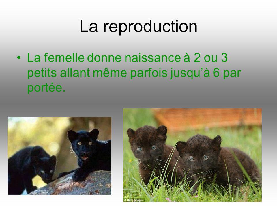 La reproduction La femelle donne naissance à 2 ou 3 petits allant même parfois jusqu'à 6 par portée.