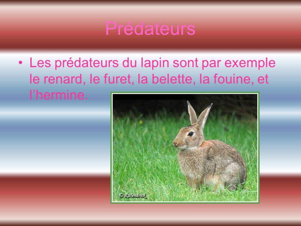 Prédateurs Les prédateurs du lapin sont par exemple le renard, le furet, la belette, la fouine, et l'hermine.