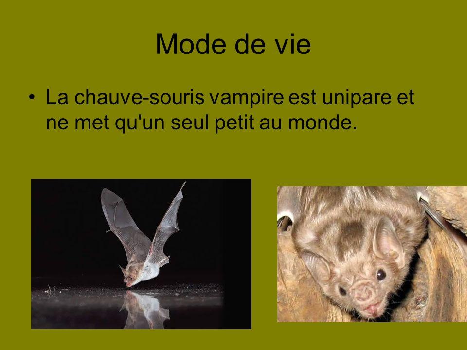 Mode de vie La chauve-souris vampire est unipare et ne met qu un seul petit au monde.