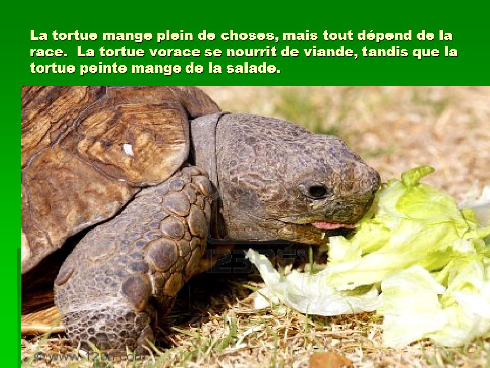 La tortue mange plein de choses, mais tout dépend de la race