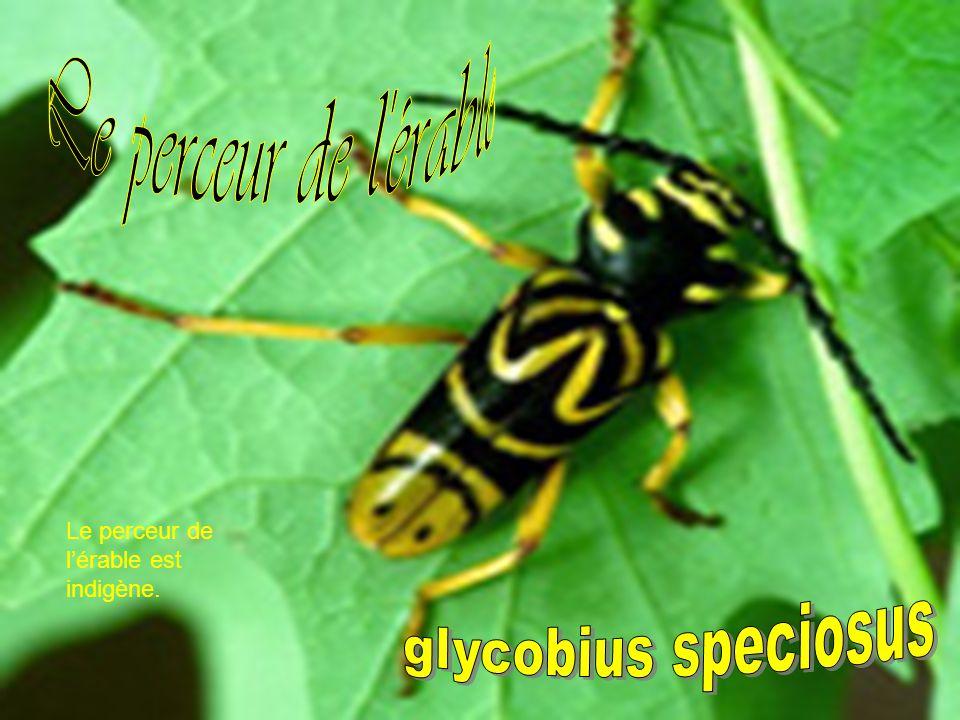 Le perceur de l érable glycobius speciosus