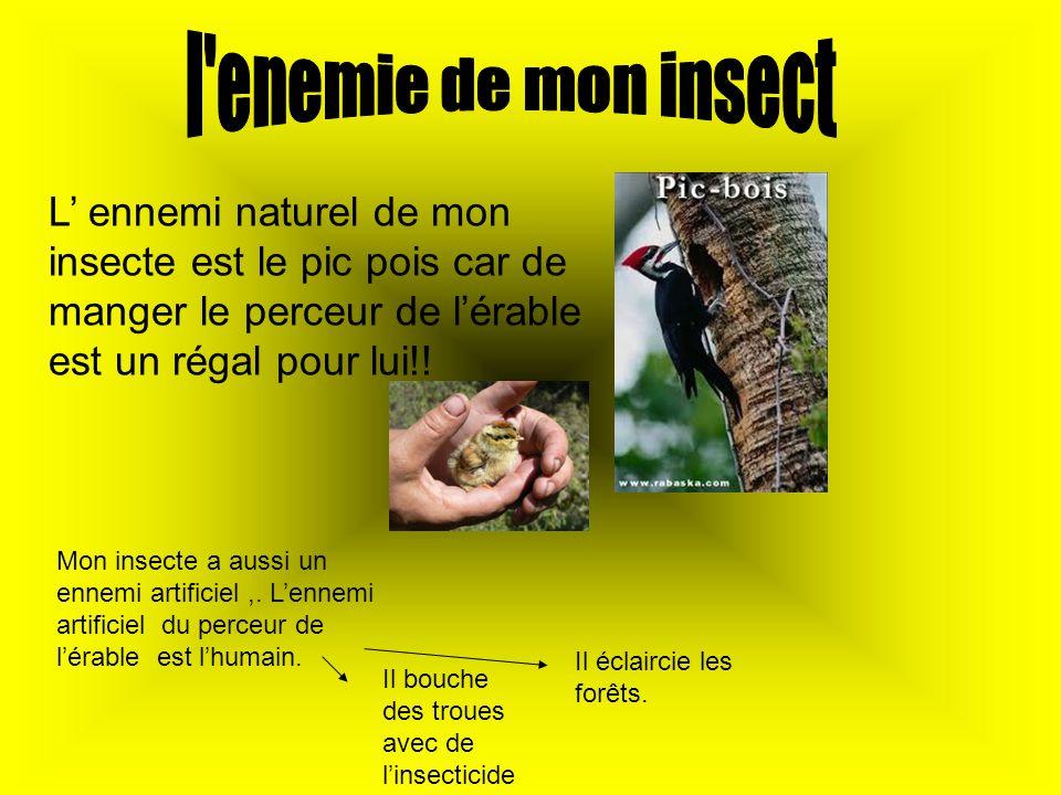 l enemie de mon insect L' ennemi naturel de mon insecte est le pic pois car de manger le perceur de l'érable est un régal pour lui!!