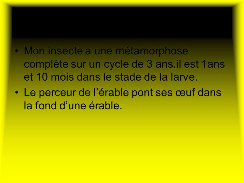 Son cycle de vie Mon insecte a une métamorphose complète sur un cycle de 3 ans.il est 1ans et 10 mois dans le stade de la larve.