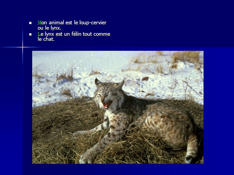 Mon animal est le loup-cervier ou le lynx.
