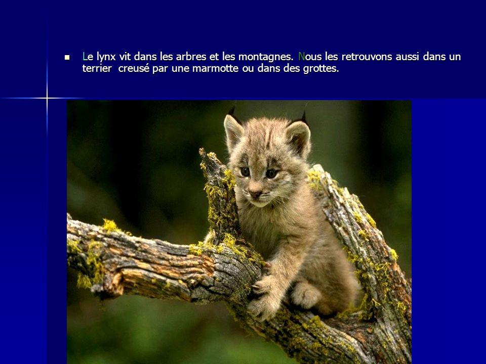 Le lynx vit dans les arbres et les montagnes