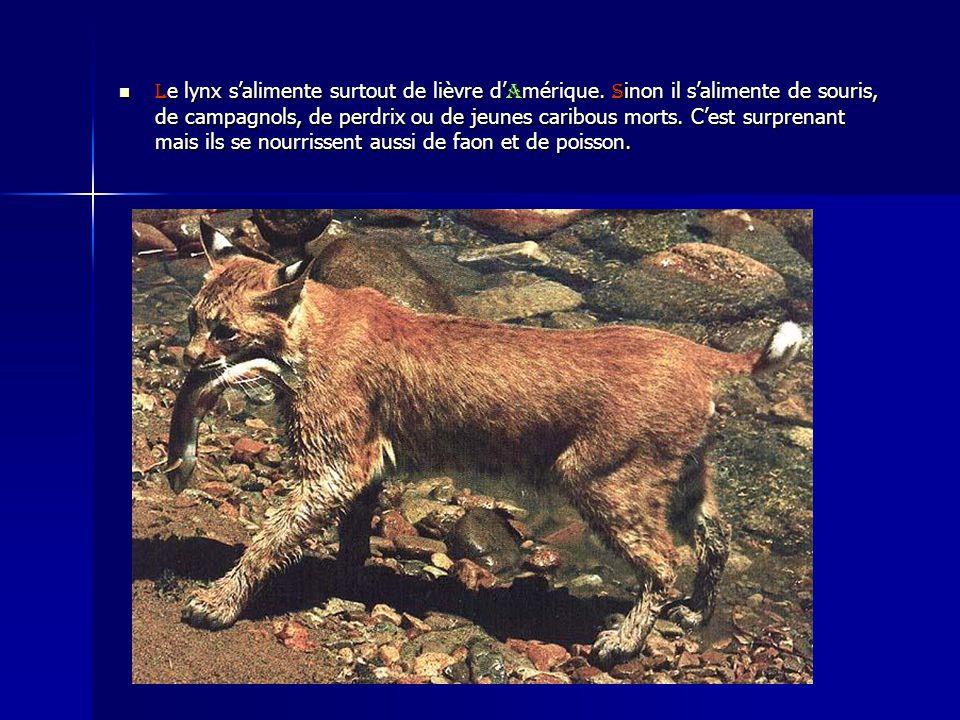 Le lynx s'alimente surtout de lièvre d'Amérique