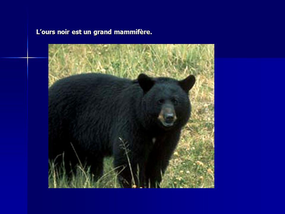 L'ours noir est un grand mammifère.