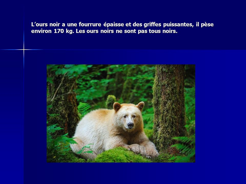L'ours noir a une fourrure épaisse et des griffes puissantes, il pèse environ 170 kg.