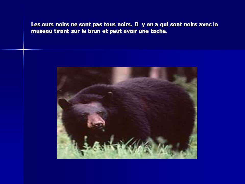 Les ours noirs ne sont pas tous noirs