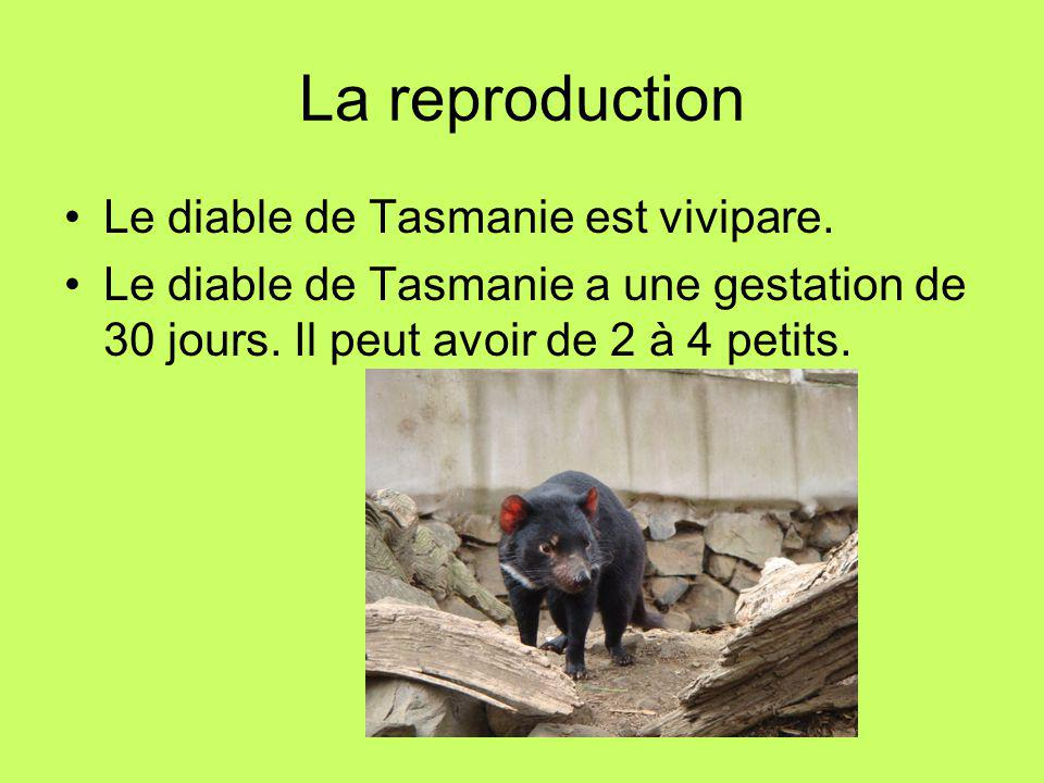 La reproduction Le diable de Tasmanie est vivipare.