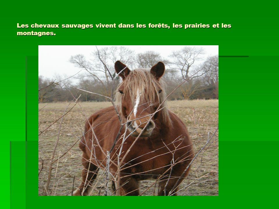 Les chevaux sauvages vivent dans les forêts, les prairies et les montagnes.