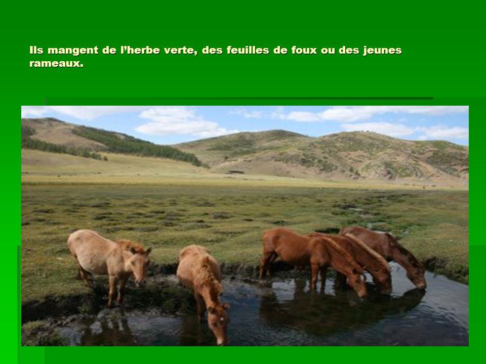 Ils mangent de l'herbe verte, des feuilles de foux ou des jeunes rameaux.