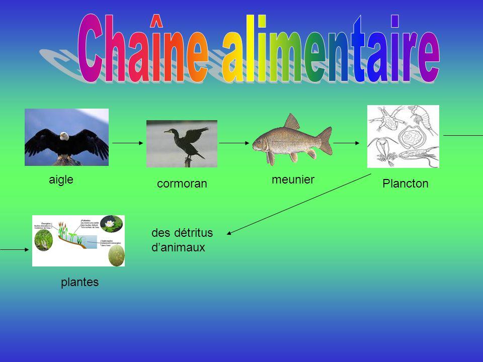 Chaîne alimentaire aigle meunier cormoran Plancton