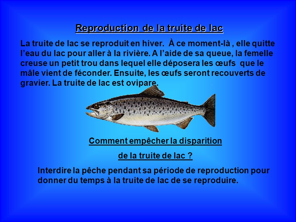Reproduction de la truite de lac Comment empêcher la disparition