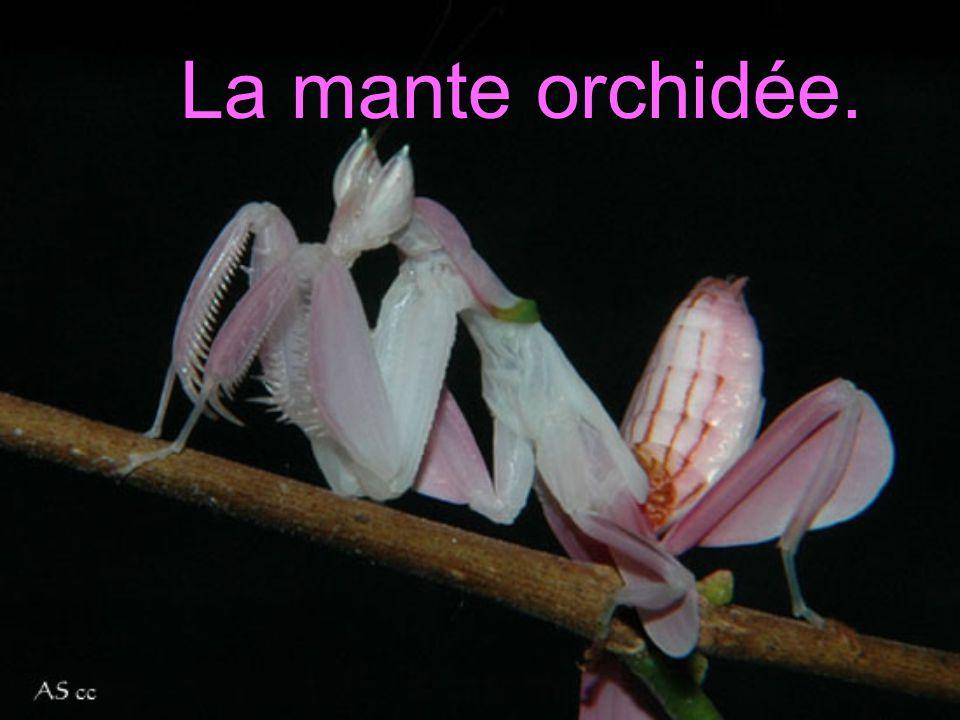La mante orchidée. LA MANTE ORCHIDÉE