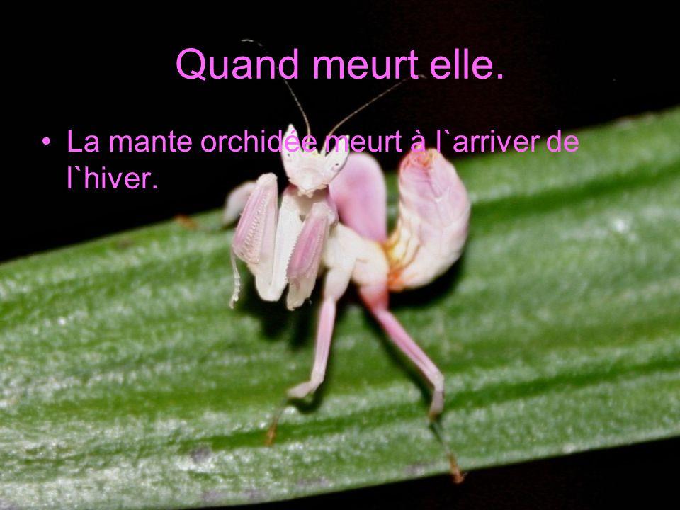 Quand meurt elle. La mante orchidée meurt à l`arriver de l`hiver.