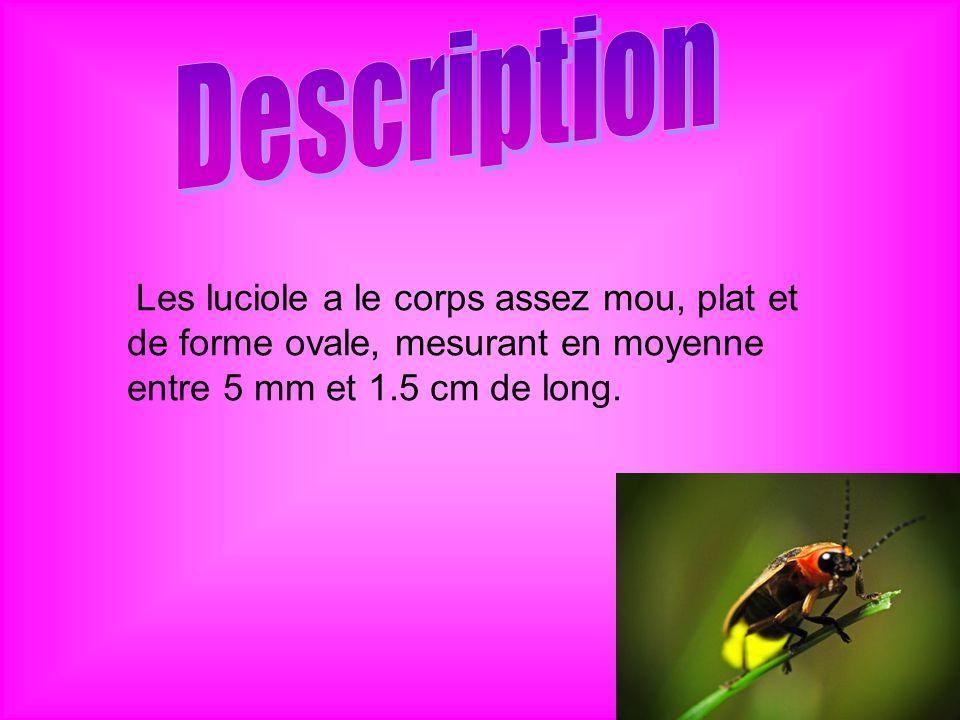 Description Les luciole a le corps assez mou, plat et de forme ovale, mesurant en moyenne entre 5 mm et 1.5 cm de long.