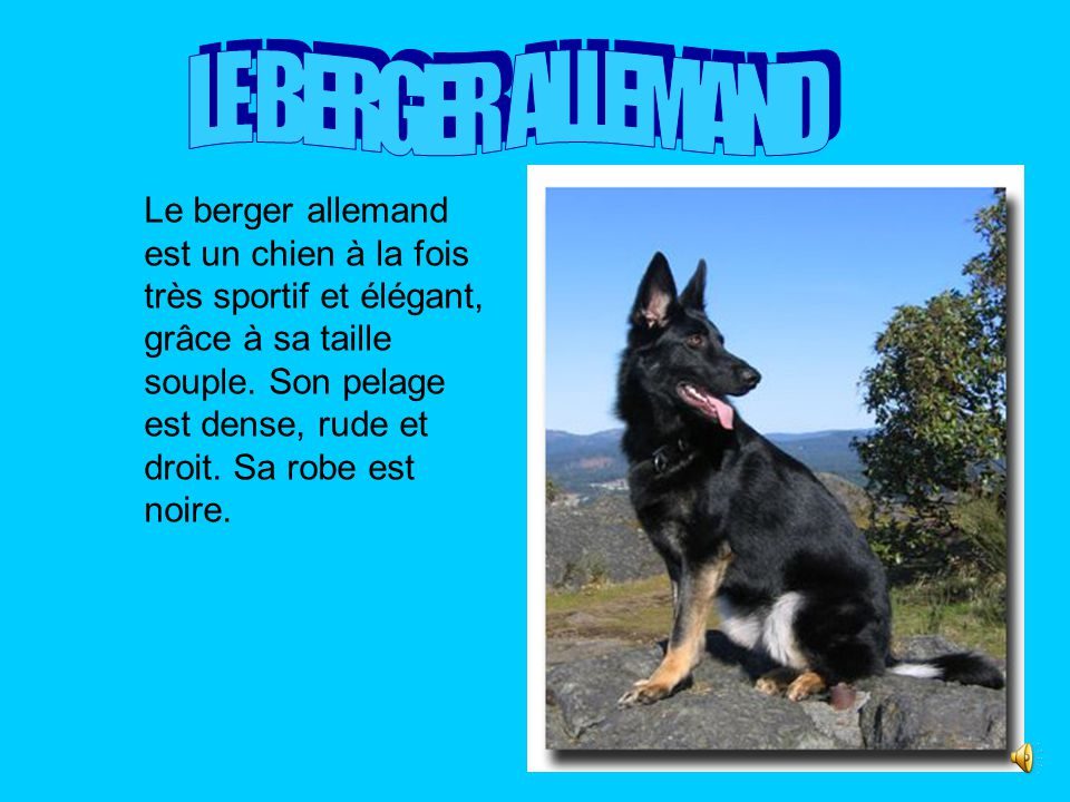 . LE BERGER ALLEMAND.