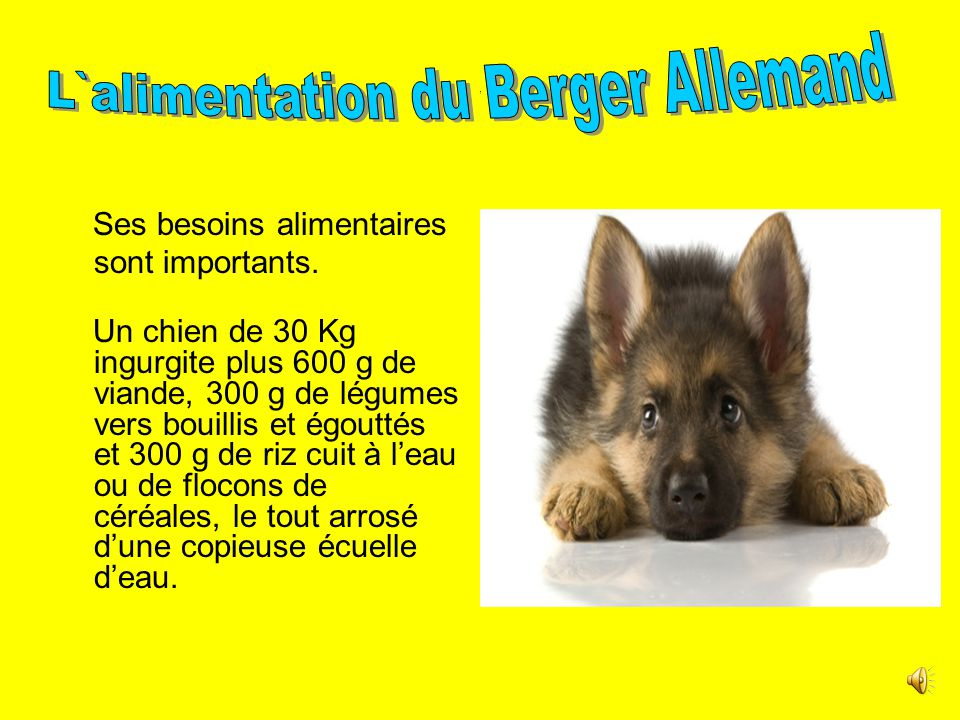 L`alimentation du Berger Allemand