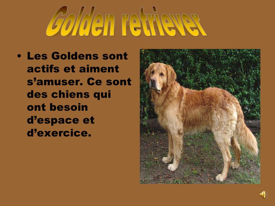 Golden retriever. Les Goldens sont actifs et aiment s'amuser.