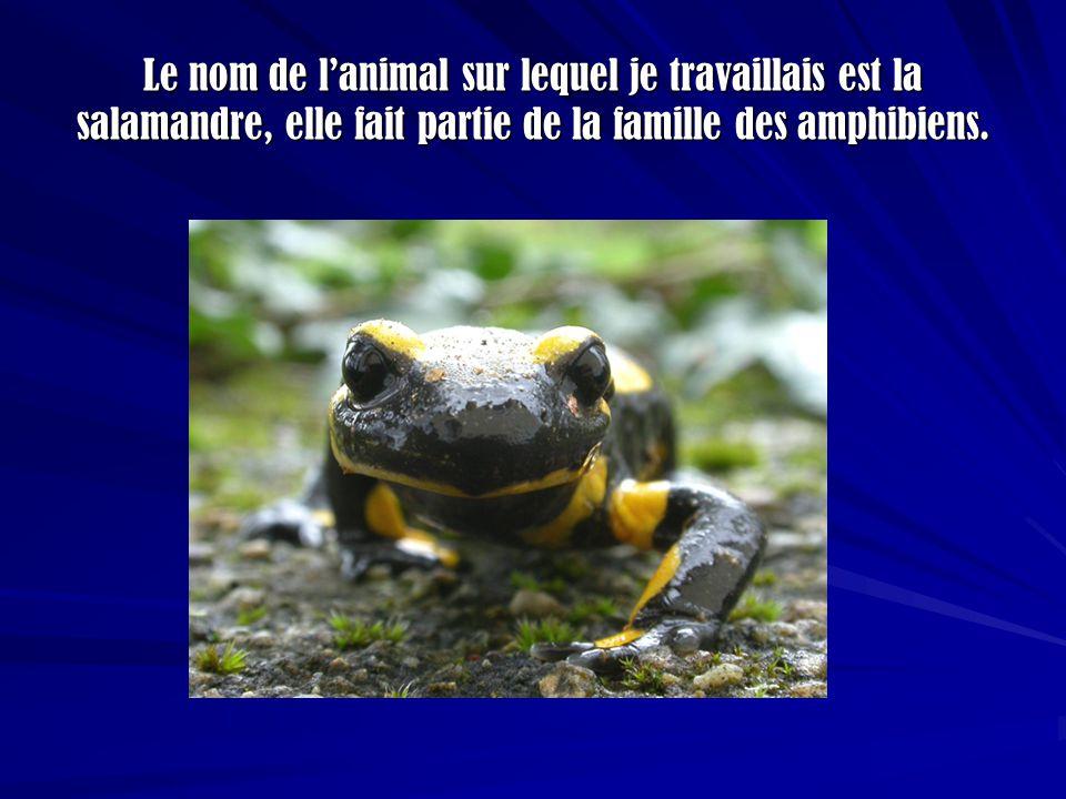 Le nom de l'animal sur lequel je travaillais est la salamandre, elle fait partie de la famille des amphibiens.