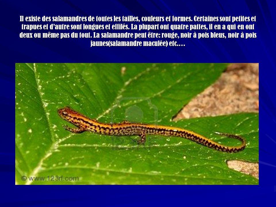 Il existe des salamandres de toutes les tailles, couleurs et formes