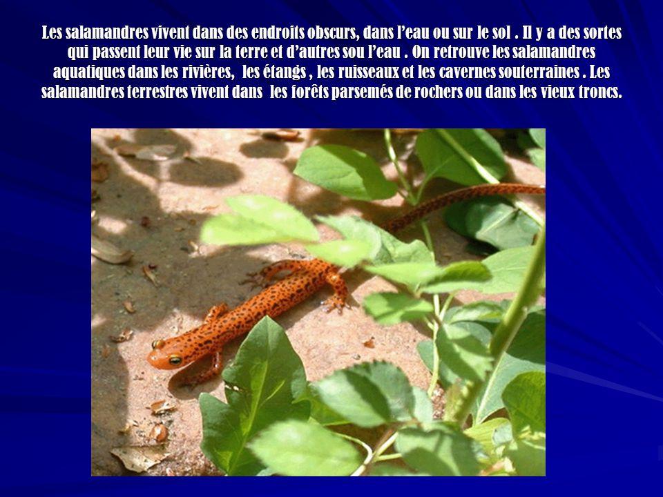 Les salamandres vivent dans des endroits obscurs, dans l'eau ou sur le sol .