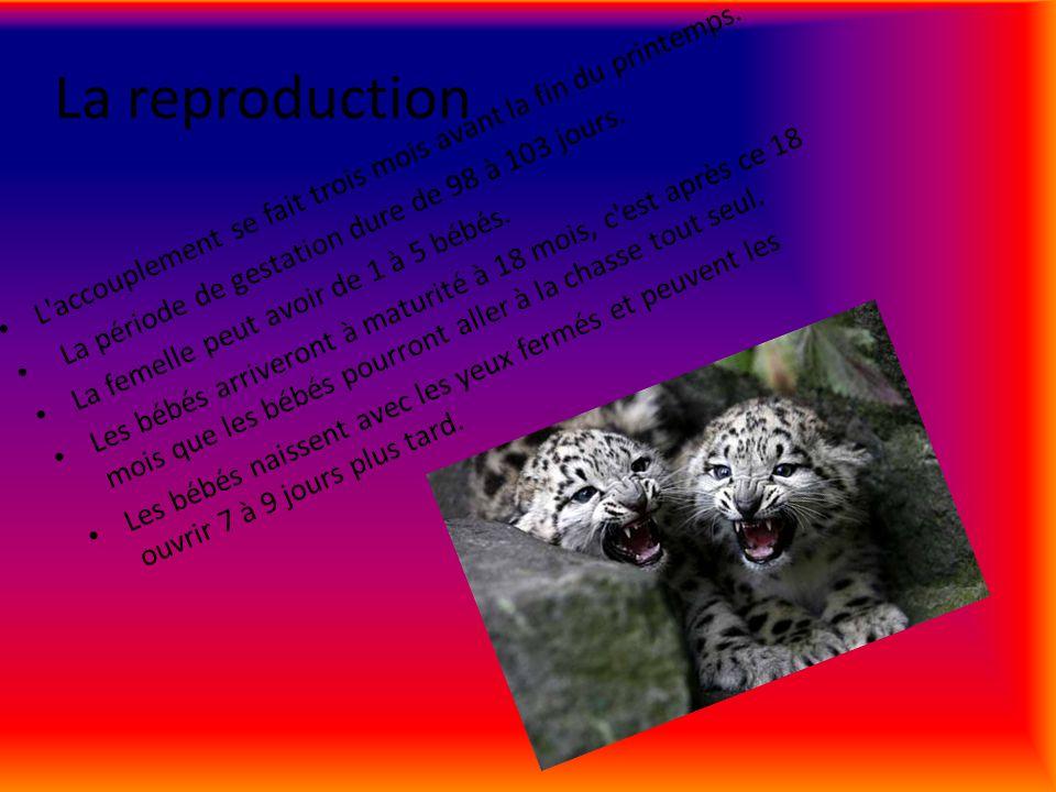 La reproduction L accouplement se fait trois mois avant la fin du printemps. La période de gestation dure de 98 à 103 jours.