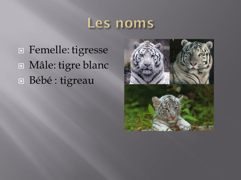 Les noms Femelle: tigresse Mâle: tigre blanc Bébé : tigreau